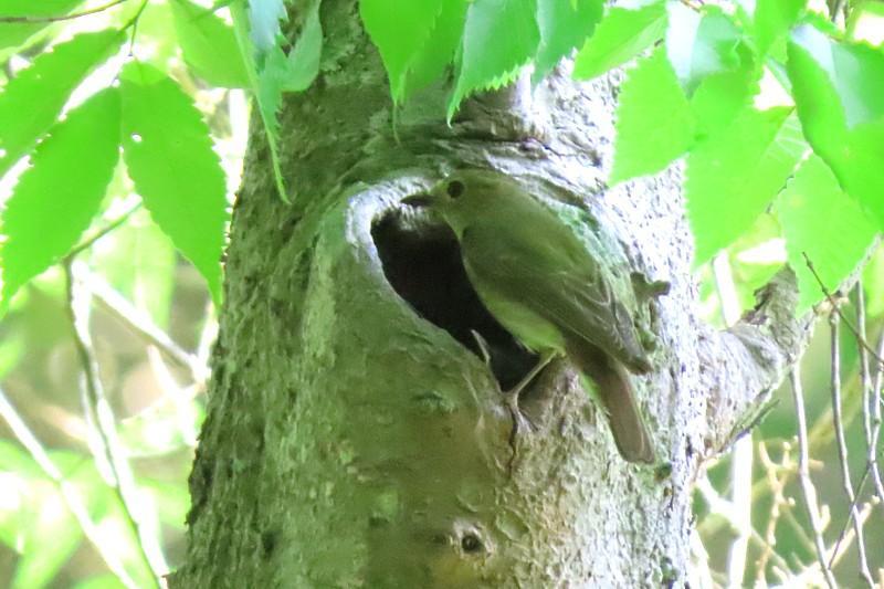 キビタキの営巣