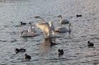 安曇野の白鳥