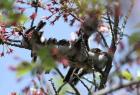 エナガ幼鳥のメジロ押し